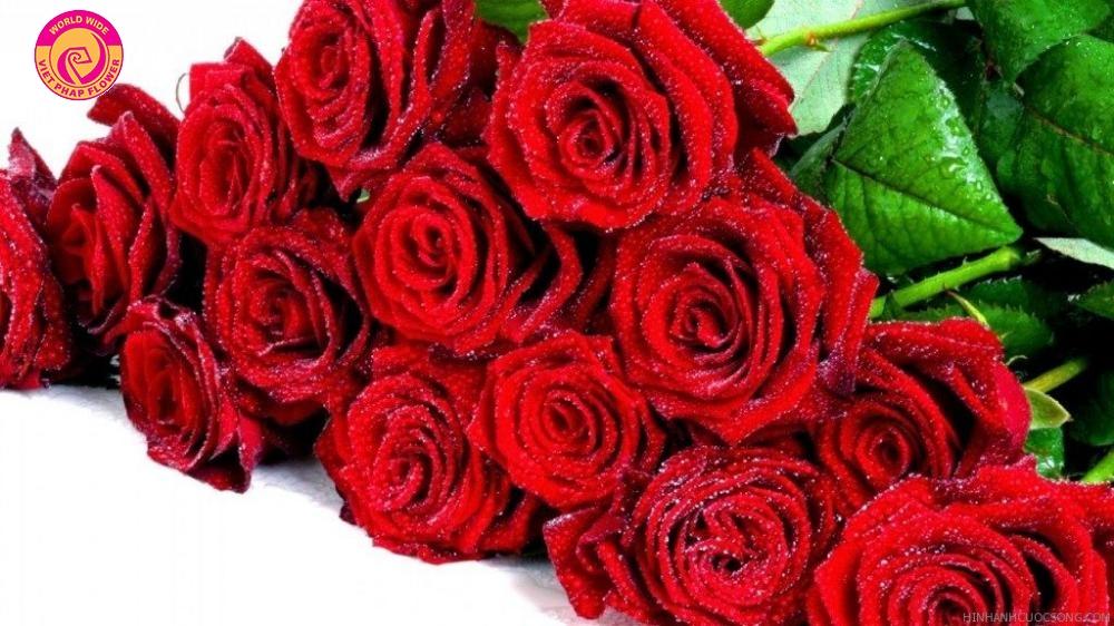 Kết quả hình ảnh cho hoa hồng
