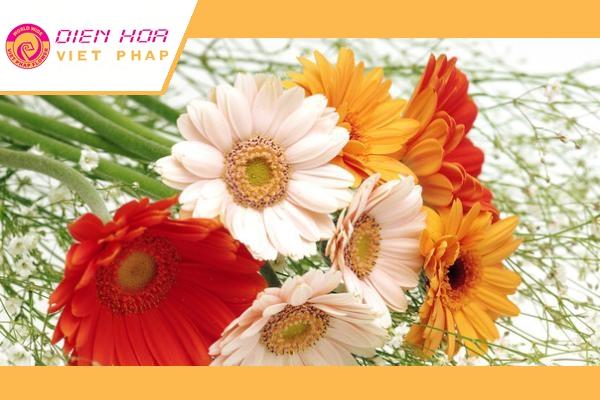 Chọn hoa đồng tiền phải chọn những bông có cánh tươi sắc