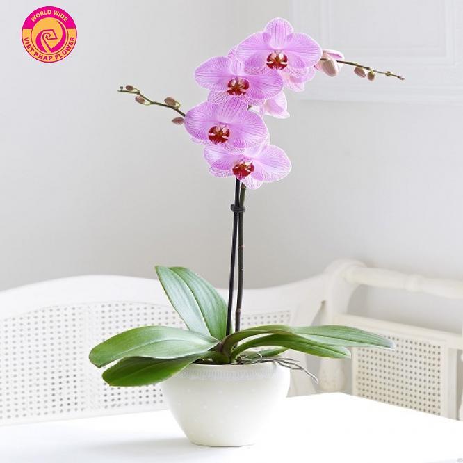 Hồ điệp mini được tôn vinh là vua của các loài hoa lan