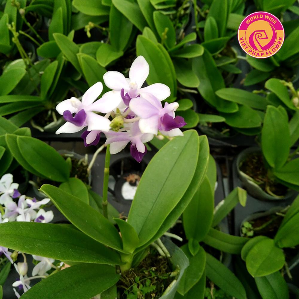 Hoa Việt Pháp có rất nhiều loại hồ điệp mini thơm
