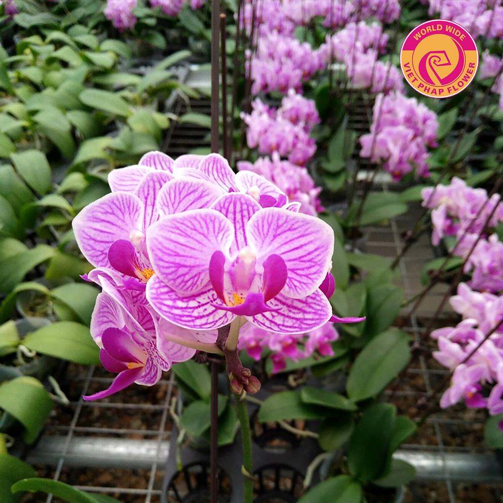 Hồ điệp mini thơm của Hoa Việt Pháp rất khỏe mạnh và đầy sức sống