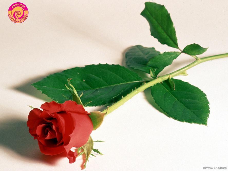 Chọn hoa tươi phải đánh giá dựa trên thân và lá