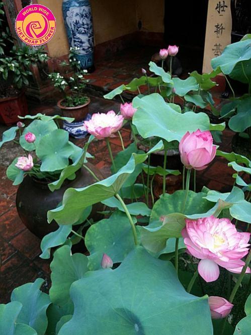Rất nhiều gia chủ chọn hoa sen để trang trí sân vườn