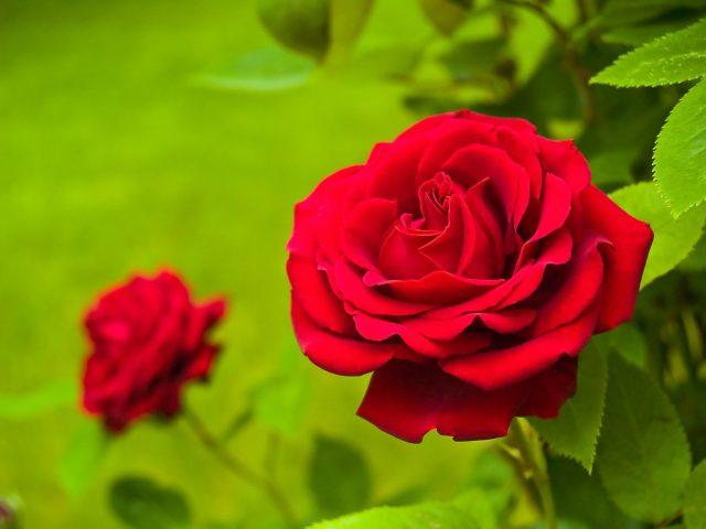 Ý nghĩa màu sắc của hoa hồng