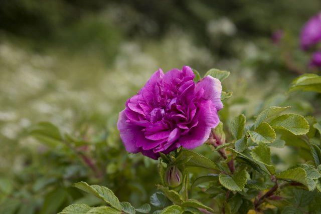 Ý nghĩa trong từng màu sắc của hoa hồng