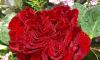 Những loài hoa đẹp thường được sử dụng trong ngày lễ tình nhân
