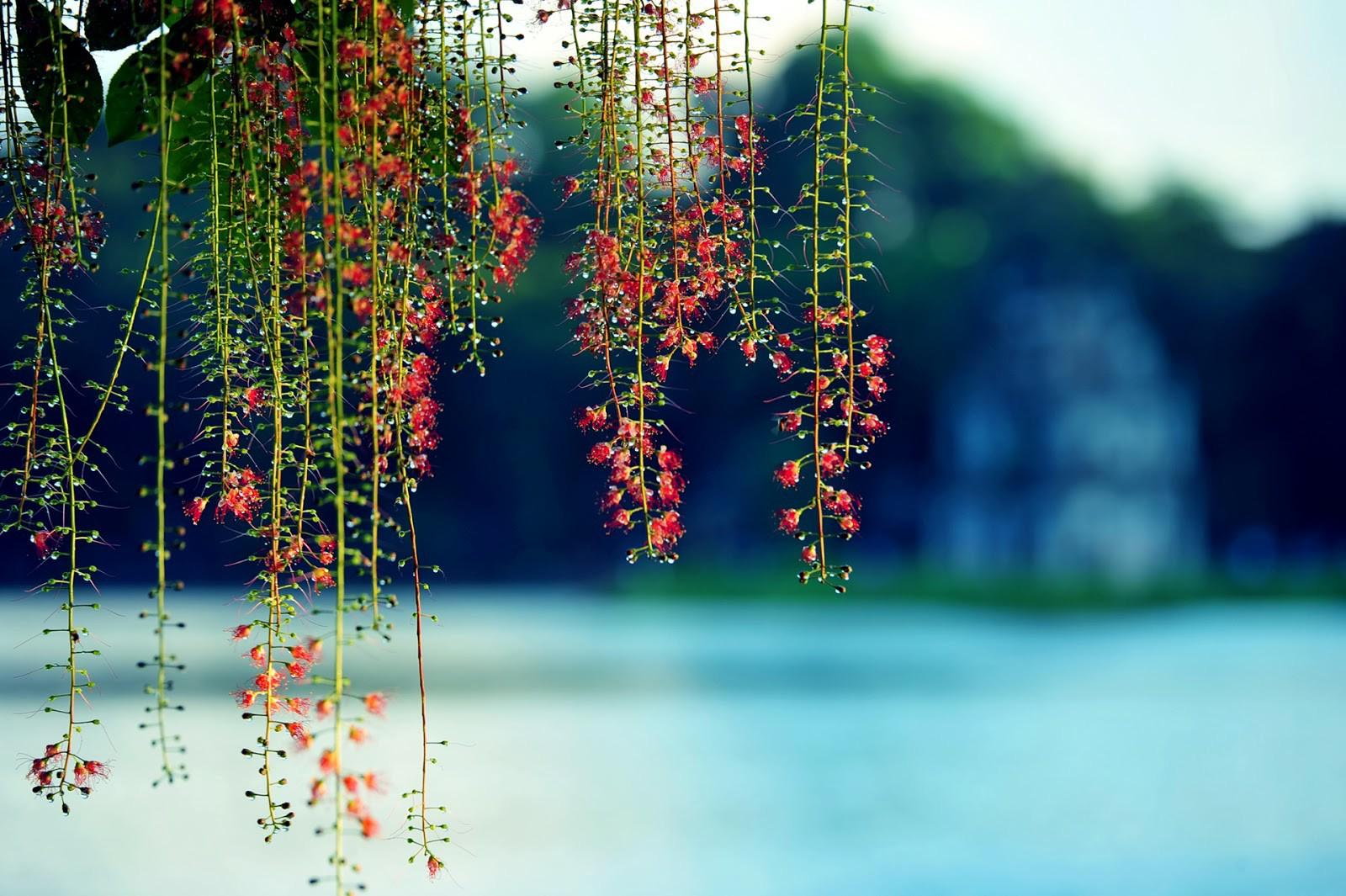 Hà Nội đẹp xao xuyến mùa lộc vừng đơm bông