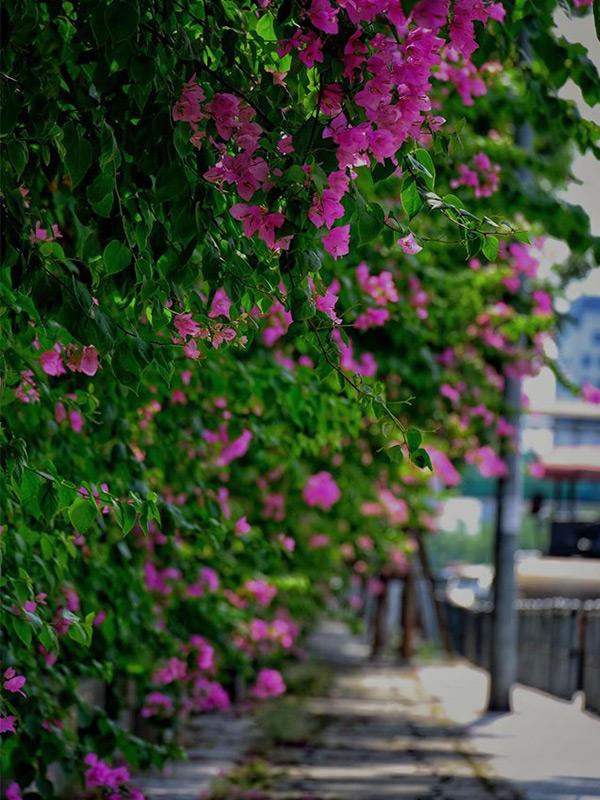 Những giàn hoa giấy tháng 8 đẹp nên thơ tươi tắn chào thu Hà Nội