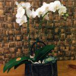 giỏ hoa lan hồ điệp mini