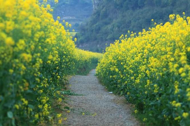 Check-in ngay những cánh đồng hướng dương, cải vàng rực rỡ ven Hà Nội