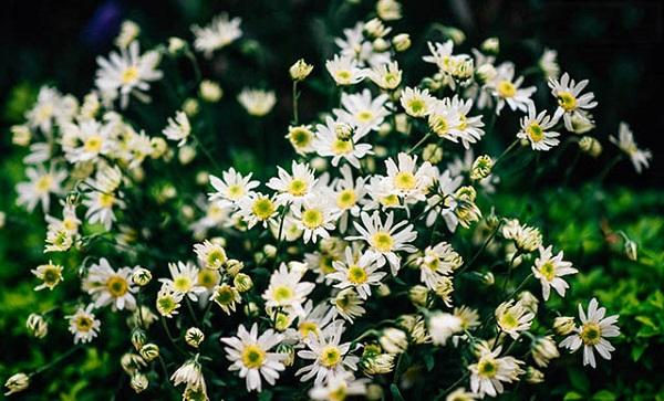 Hanh hao những sắc hoa thu Hà Nội