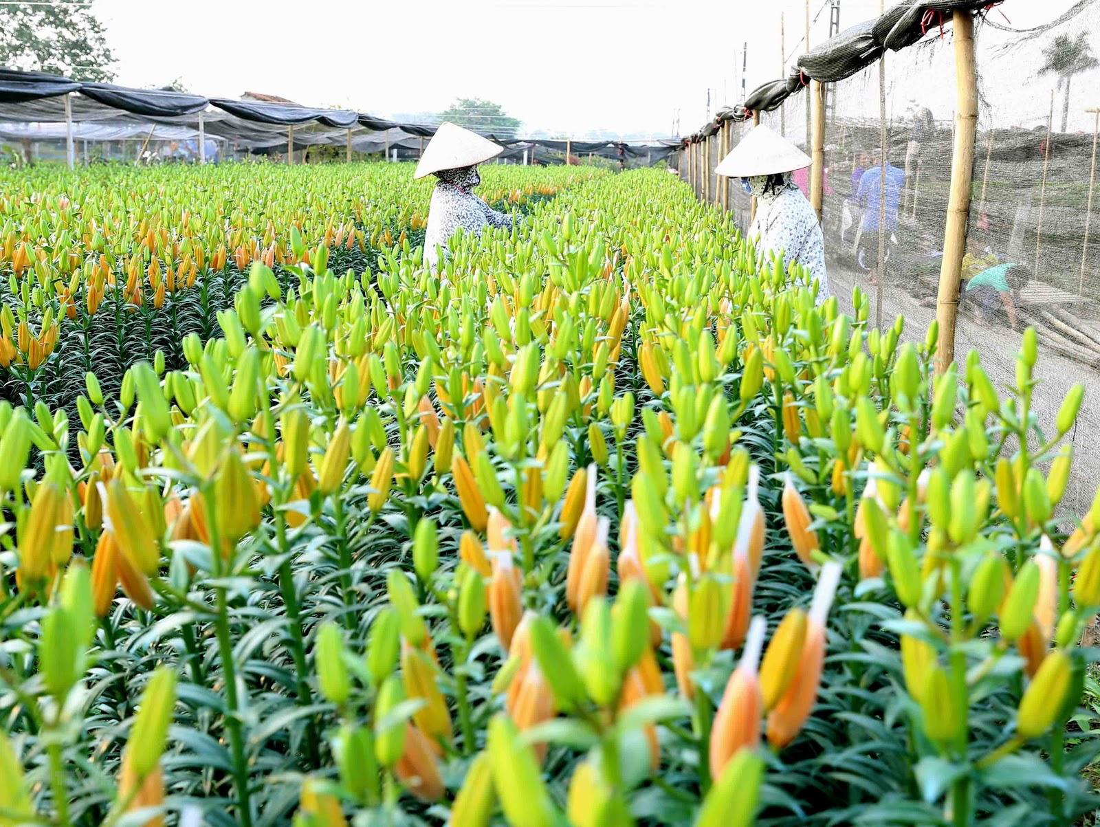 Mùa xuân gõ cửa trong sự nhộn nhịp của các làng hoa Tết ven Hà Nội