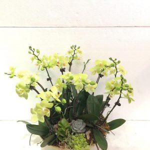 lan hồ điệp flower orchid