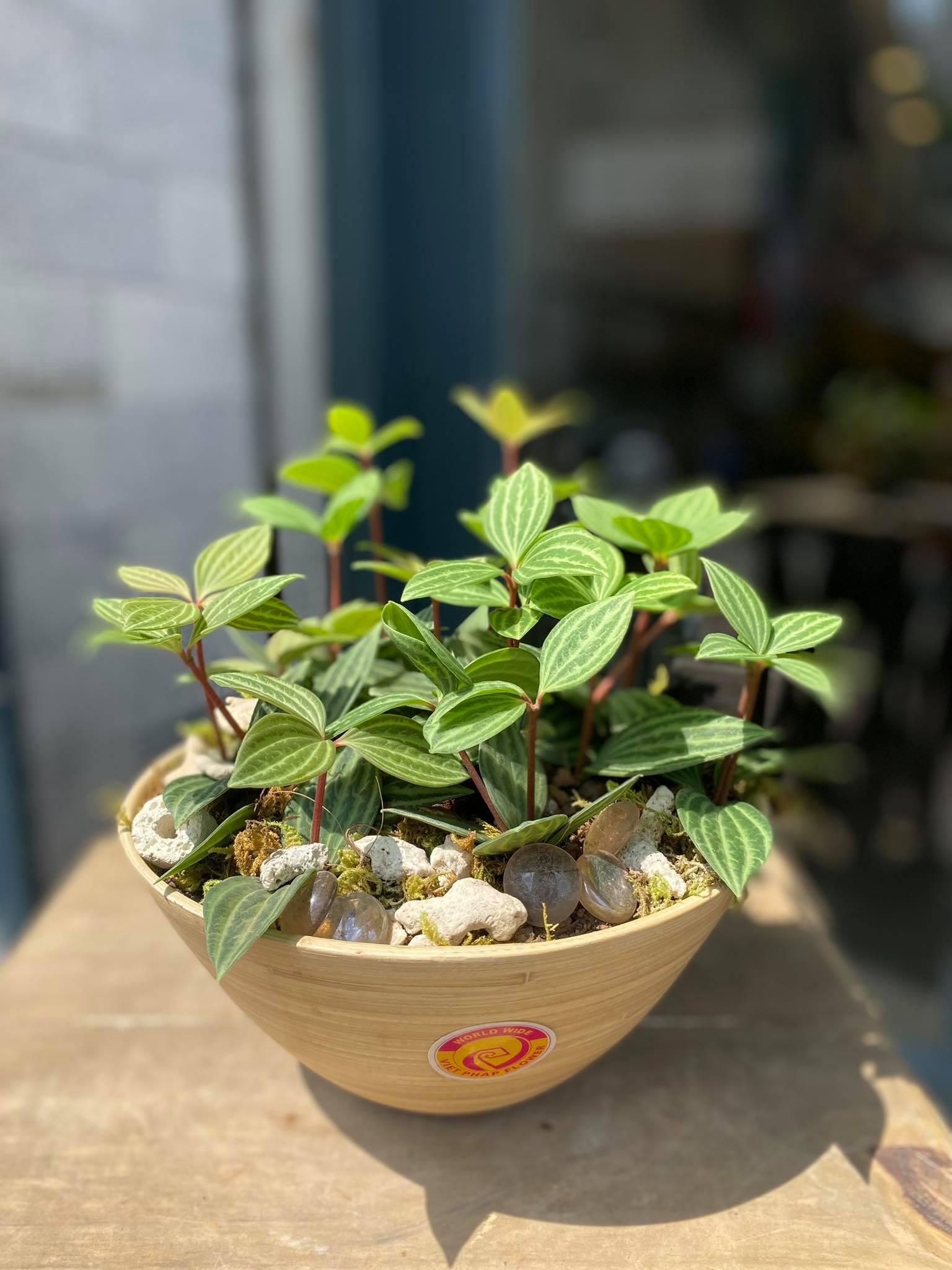 chậu cây thạch diệp thảo