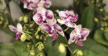 flower classi – những tác phẩm  lan hồ điệp mini sang sành nghệ thuật