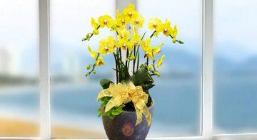 Chọn hoa Lan Hồ Điệp trang trí và làm quà tặng cho ngày tết
