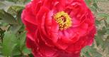 Ý nghĩa màu sắc hoa mẫu đơn