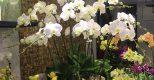 Mẹo hay để chọn hoa Lan Hồ Điệp đẹp