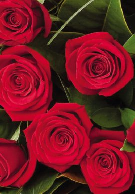 Switzerland 12 medium stem roses VPB 2770
