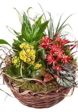 Switzerland indoor plants in basket VPB 2294