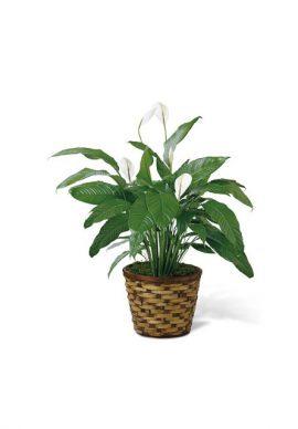 USA Spathiphyllum VPC 2107
