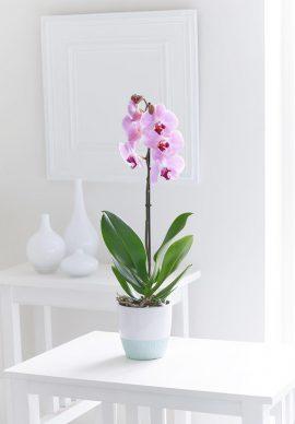 United Kingdom Pink Phalaenopsis Orchid VPC 1508