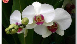 Bạn biết gì về loài hoa Lan Hồ Điệp?
