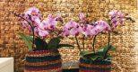 Cận cảnh mẫu hoa lan hồ điệp sang – đẹp đã có mặt tại Hoa Việt Pháp