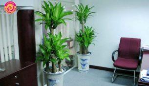 Một số loại cây xanh trang trí văn phòng ý nghĩa, hợp phong thủy và những lưu ý khi đặt