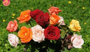 Hoa hồng và ý nghĩa của mỗi màu hoa