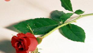 Hoa tươi Hà Nội – Bí quyết chọn mua hoa đẹp, tươi lâu, giá hợp lý