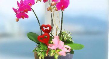 Lan Hồ Điệp tươi đẹp – loài hoa chơi Tết sang trọng mang vận may, tài lộc phú quý cả năm
