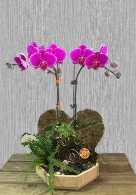 Lan Hồ Điệp Valentine 02