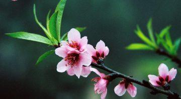 Bật mí những loài hoa cây cảnh trưng Tết mang tài lộc may mắn cho cả năm