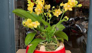 Những mẫu lan hồ điệp mini thơm hot nhất của Hoa Việt Pháp