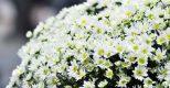 Sáng chớm lạnh trong lòng Hà Nội, những phố dài thơm ngát hương hoa